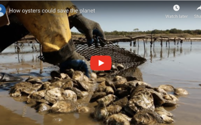 Can Oysters Save The Planet?